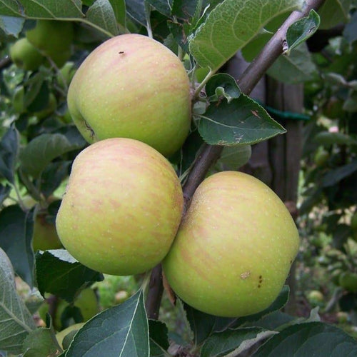 Apple Tree - Ribston Pippin