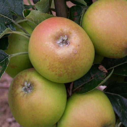 Apple Tree - Rosemary Russet