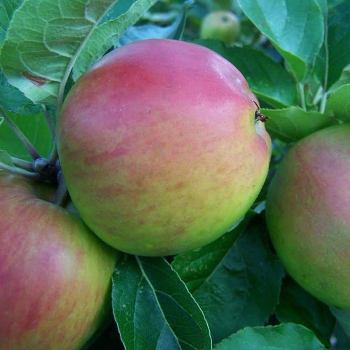 Apple Tree - Scotch Bridget
