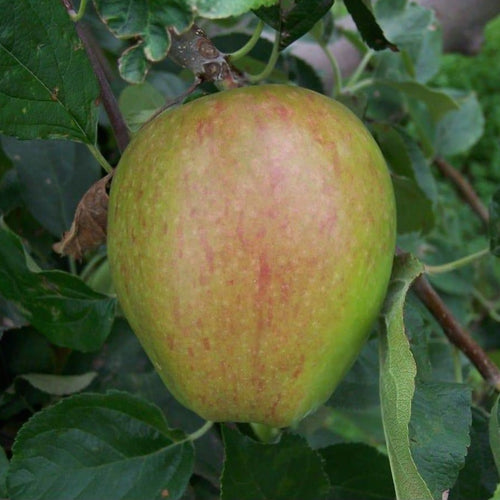 Apple Tree - Smart's Prince Arthur