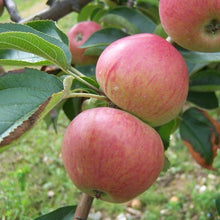 Load image into Gallery viewer, Apple Tree - Somerset Redstreak