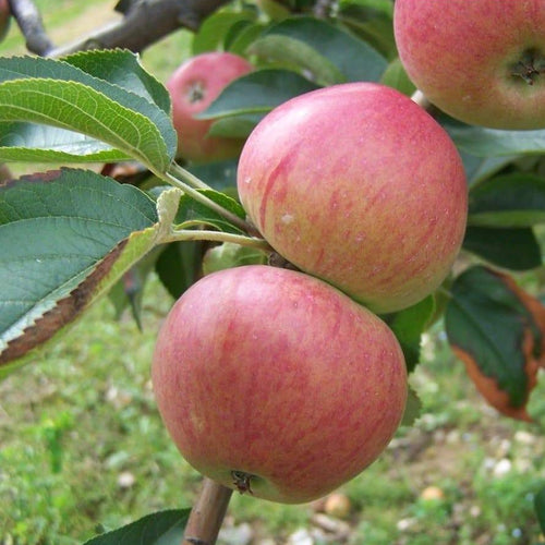 Apple Tree - Somerset Redstreak
