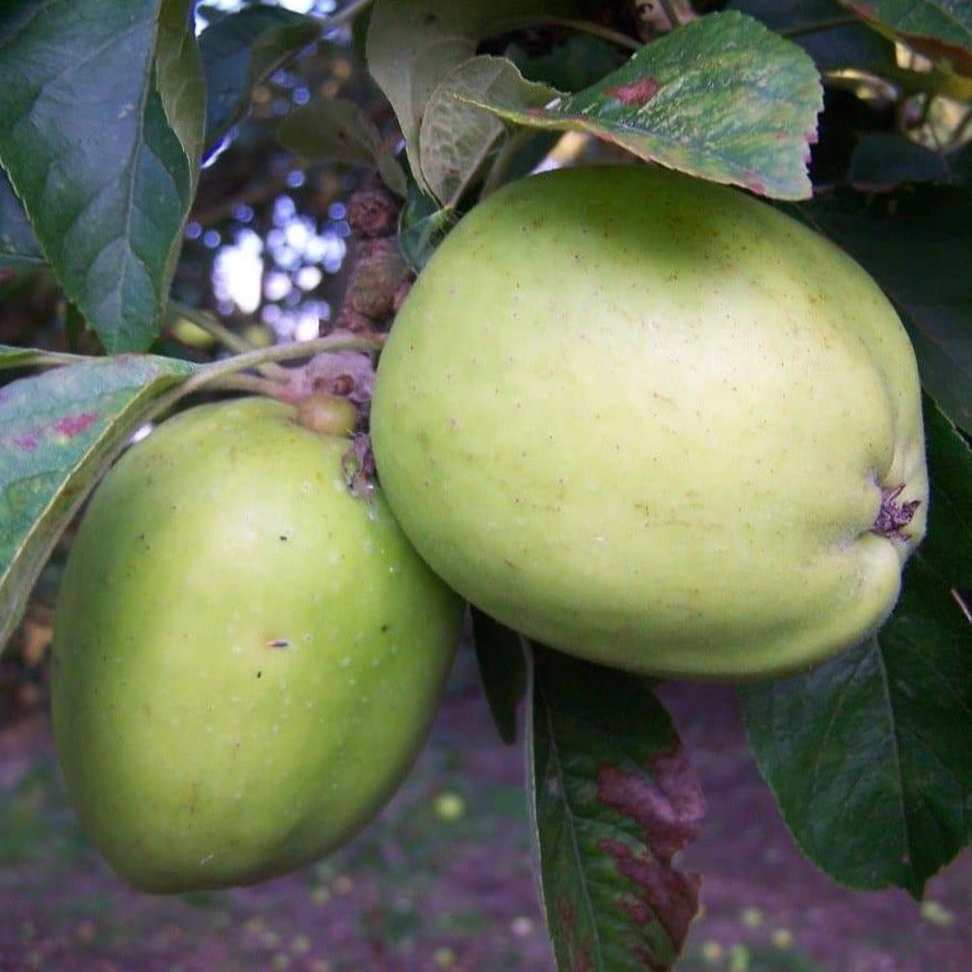 Apple Tree - Tower Of Glamis