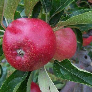Apple Tree - Worcester Pearmain