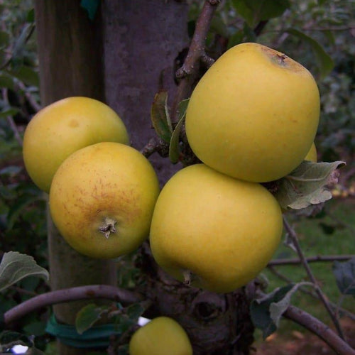 Apple Tree - Yellow Ingestrie