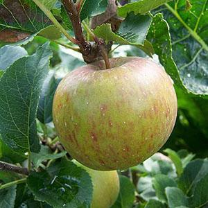 Apple Tree - Lord Lambourne