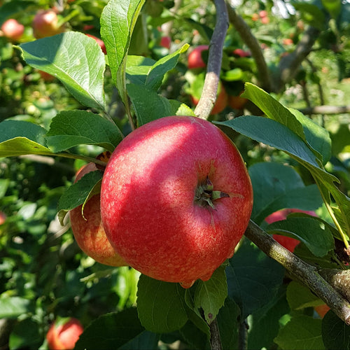Apple tree - Beauty of Bath