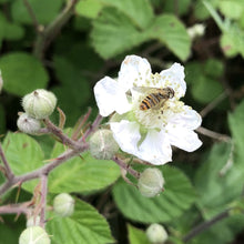 Load image into Gallery viewer, Blackberries (Rubus fruticosus)
