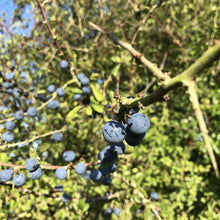 Load image into Gallery viewer, Blackthorn sloes