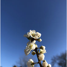 Load image into Gallery viewer, Hedge plant: Blackthorn