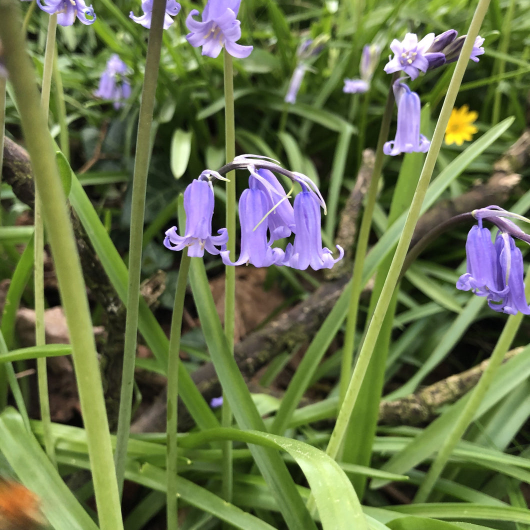 Bluebell seed
