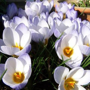 Snow Crocus (Crocus chrysanthus) Collection