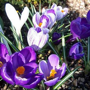 Dutch Crocus (Crocus vernus) Collection