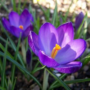 Early Crocus (Crocus tommasinianus) Collection