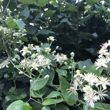 Load image into Gallery viewer, Clematis vitalba, Old Man's Beard