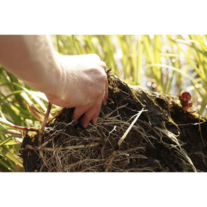 Root system is well established in coir mat
