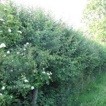 Conservation hedge mix