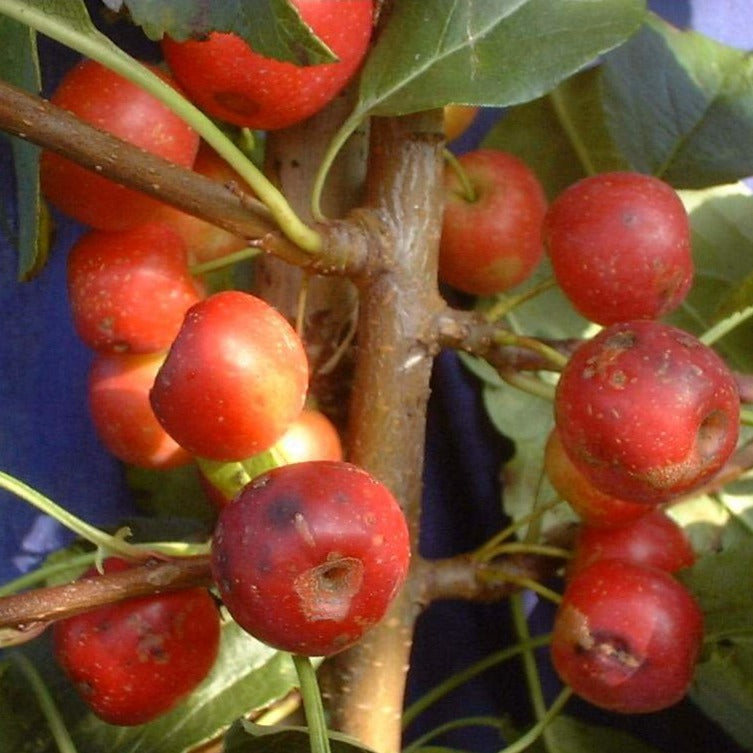 Crab apple - Cheal's Scarlet