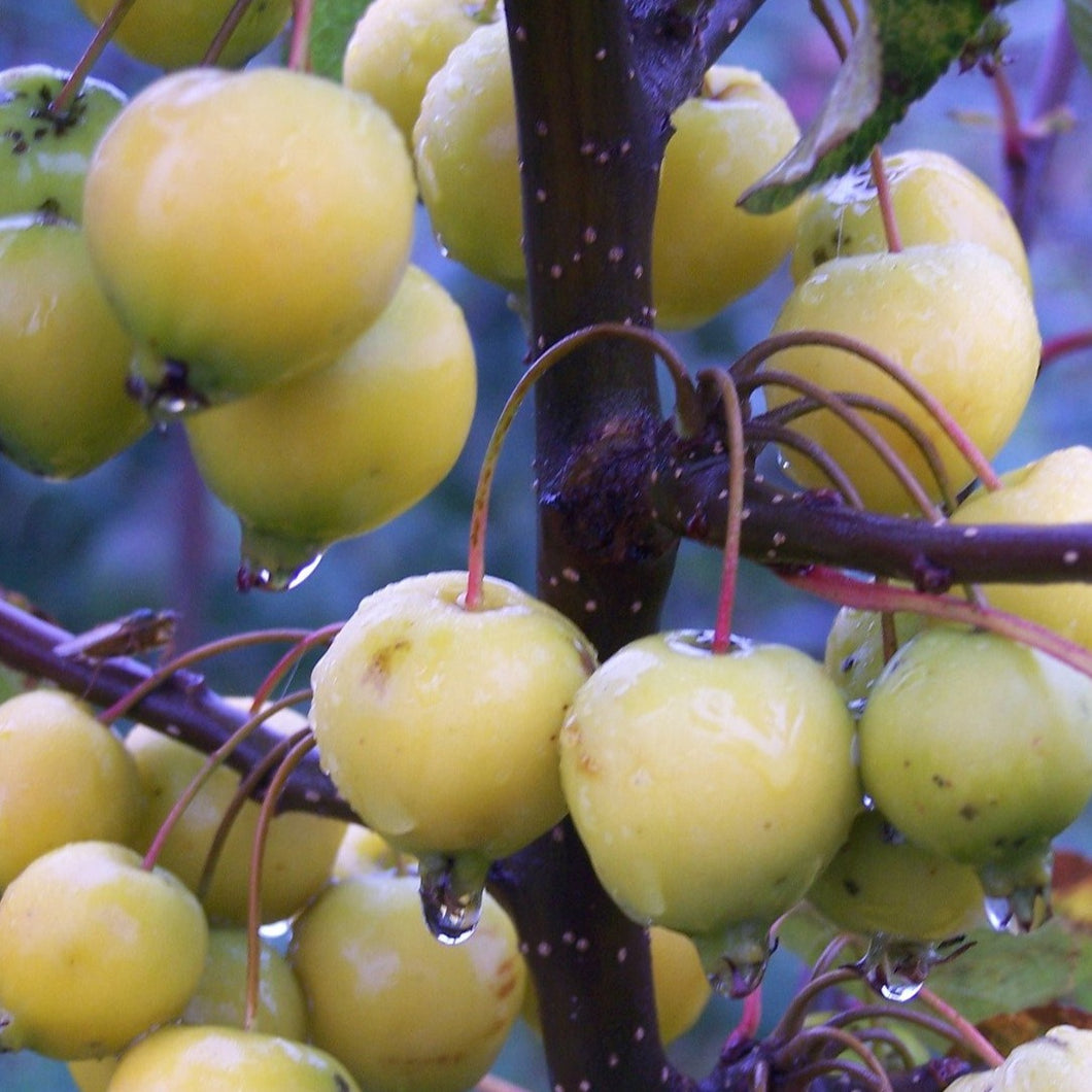Crab apple - Golden hornet