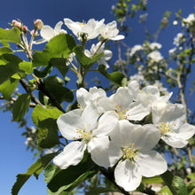 Load image into Gallery viewer, Crab apple 'Dartmouth' blossom