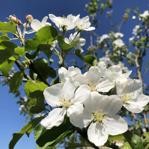 Crab apple 'Dartmouth' blossom