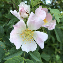 Load image into Gallery viewer, Dog rose, Rosa canina
