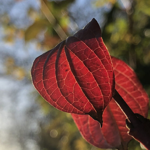 Cornus sanguinea, common dogwood