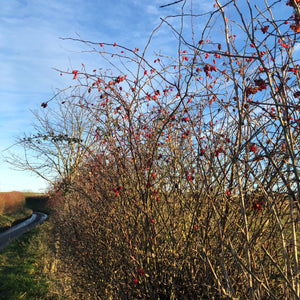 Hedge Plants: Conservation Hedge Mix