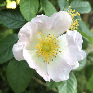 Hedge plant: Field rose