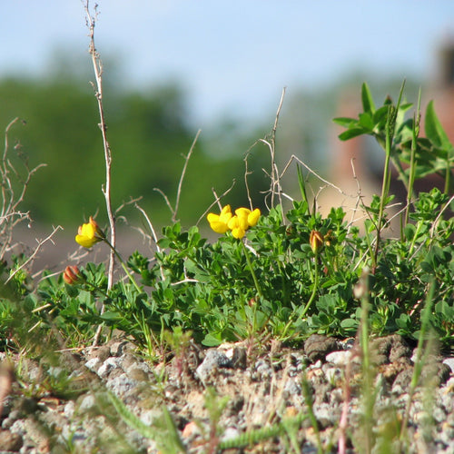 Green Roof Wildflower Seed Mix