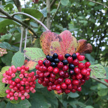 Load image into Gallery viewer, Hedge plant: Guelder rose