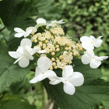 Load image into Gallery viewer, Viburnum opulus