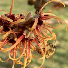 Load image into Gallery viewer, Witch hazel and honeybee