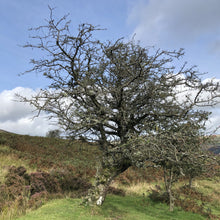 Load image into Gallery viewer, Hawthorn, Black Mountains