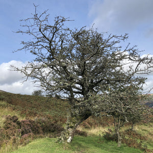 Hawthorn, Black Mountains