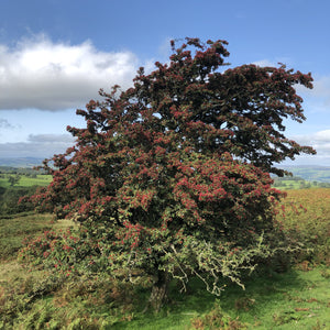 Hawthorn, overlooking Hay-on-Wye