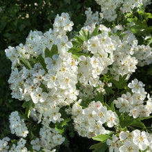 Load image into Gallery viewer, Hawthorn (Crataegus monogyna)