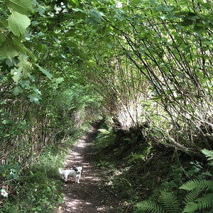 Coppiced and laid hazel along ancient path, Vale of Ewyas