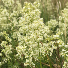 Load image into Gallery viewer, Hedge bedstraw Galium mollugo