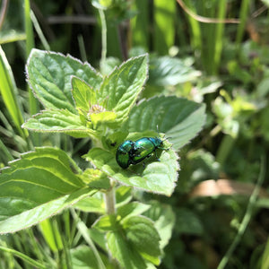 Mint leaf beetles on Water mint