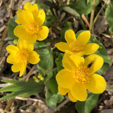 Load image into Gallery viewer, Marsh marigold caltha palustris