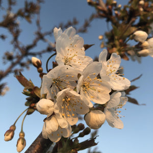 Prunus 'Hannaford'