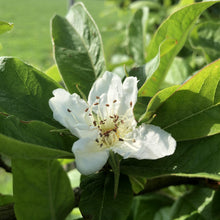 Load image into Gallery viewer, Medlar blossom