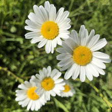 Load image into Gallery viewer, Oexeye Daisy