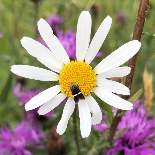 Oxeye Daisy and Silver-barred Sober