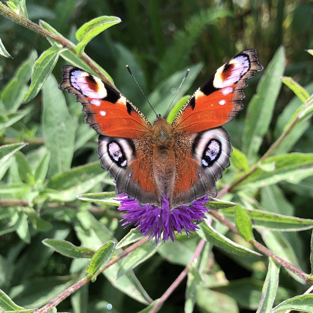 Lesser knapweed: Butterfly and moth mix