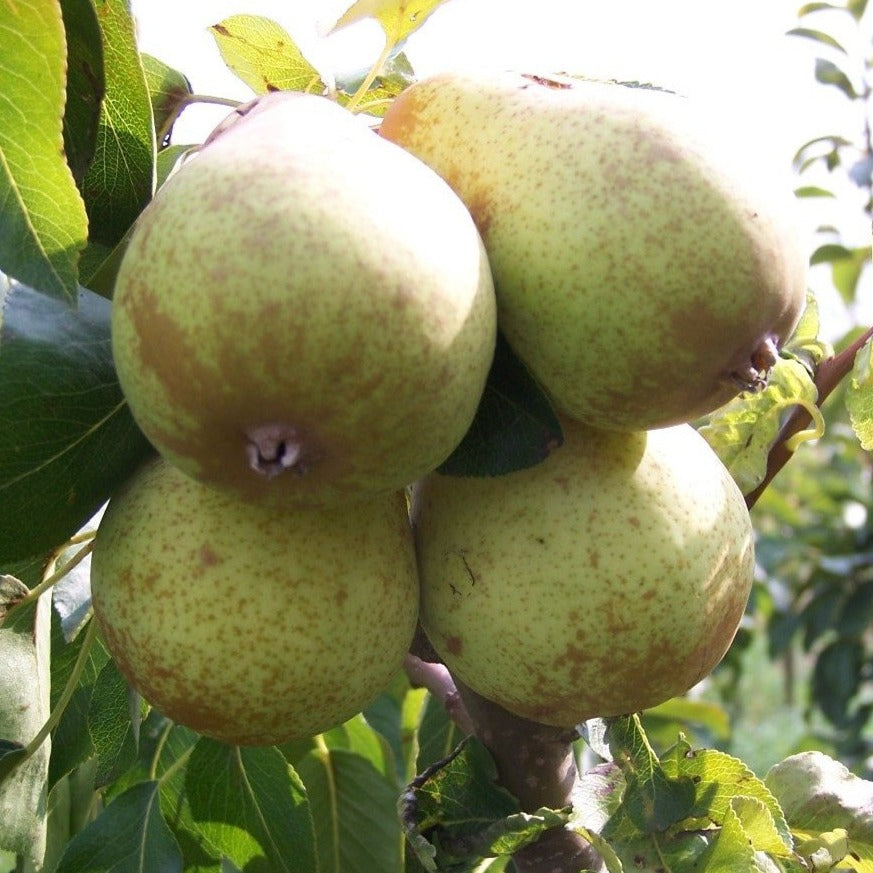 Pear Tree - Beth