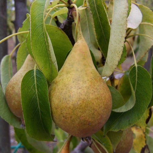 Pear tree - Bristol Cross