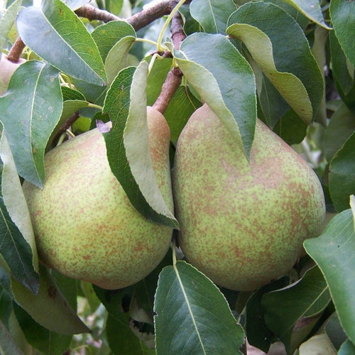 Pear Tree - Doyenne du Comice