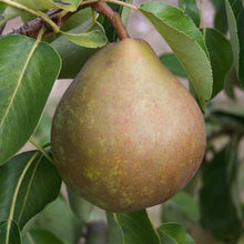 Load image into Gallery viewer, Pear Tree - Onward